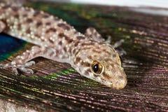 Gecko méditerranéen images libres de droits