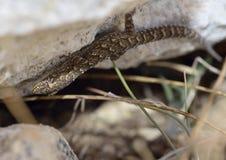 Gecko méditerranéen ou turc photo libre de droits