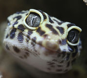 Gecko macro. Close up of a leopard gecko showing eyes and skin textures stock photos
