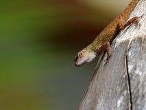 Gecko macro Stock Images