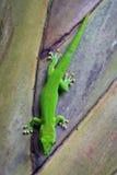 gecko madagascar Arkivfoto