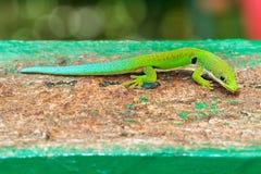 Gecko Madagascar de jour de paon images stock