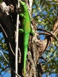 Gecko malgascio fotografia stock libera da diritti