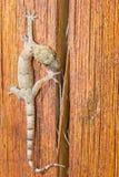 Gecko marchant au-dessus d'un morceau de bois Photos stock