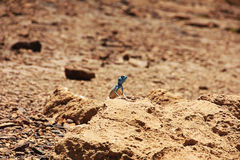 Gecko during mating basking in the sun and attracts the female Royalty Free Stock Photos