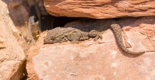 Gecko mauresque de mur entre les roches photographie stock