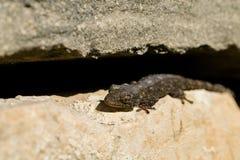 Gecko mauresque, mauritanica de Tarentola, se dorant au soleil et jetant sa peau image stock
