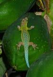 Gecko. Mauritius gecko on papaya fruit Royalty Free Stock Images