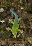 Gecko. Mauritius gecko on tree trunk Royalty Free Stock Photo