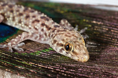 Gecko mediterrâneo imagens de stock royalty free