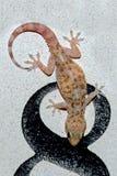 Gecko mediterraneo della casa Immagine Stock