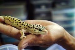 Gecko mit abgefüllter Haut an Hand lizenzfreies stockfoto