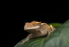 Gecko mit Haube Lizenzfreies Stockfoto