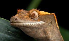 Gecko mit Haube Stockfoto