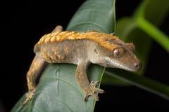 Gecko mit Haube auf Blättern Stockfoto