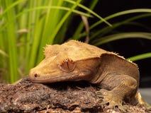 Gecko mit Haube auf einem Klotz lizenzfreie stockfotografie