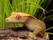 Gecko mit Haube auf einem Klotz lizenzfreie stockfotos