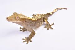 Gecko mit Haube, Correlophus-ciliatus lizenzfreies stockfoto