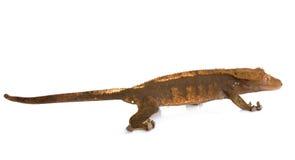 Gecko mit Haube im Studio stockbild