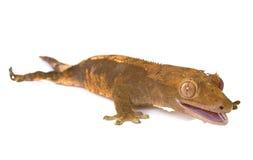Gecko mit Haube im Studio stockfotos