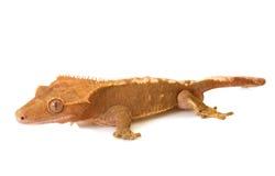Gecko mit Haube im Studio lizenzfreie stockbilder