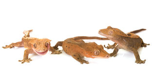 Gecko mit Haube im Studio lizenzfreie stockfotos
