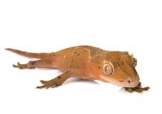 Gecko mit Haube im Studio lizenzfreies stockfoto