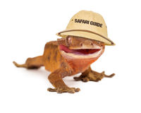 Gecko mit Haube Safari Guide Lizenzfreie Stockfotos