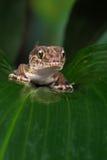 Gecko moulu de Madagascan (Paroedura Pictus) images stock