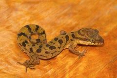 Gecko moulu opacifié, nebulosus de Cyrtodactylus de Chhattisgarh photographie stock libre de droits