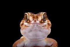 Gecko moulu sud-africain (angulifer de Chondrodactylus) images stock