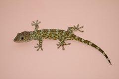 Gecko na parede Fotos de Stock Royalty Free
