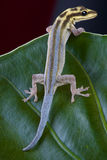 Gecko nain à tête blanche photos stock