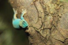 Gecko nain de turquoise photos stock