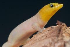 Gecko nano Fotografie Stock