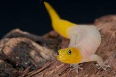 Gecko nano Immagine Stock
