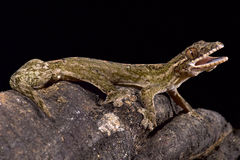 Gecko navet-coupé la queue par géant, rapicauda de Thecadactylus photo libre de droits