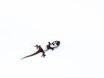 Gecko. Newborn gecko on white background stock photo