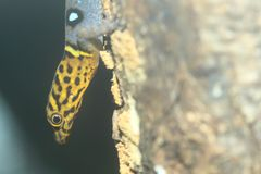 Gecko Ocellated image stock