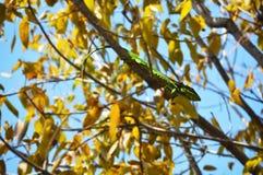 Gecko oder Leguan stockfotos