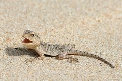 Gecko On Beach Royalty Free Stock Photo