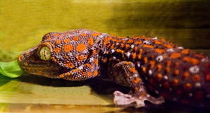 Gecko. Orange-brown spotted gecko portrait stock image