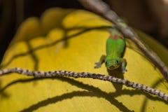 Gecko orange de jour reposant un arbre de noix de coco photos stock