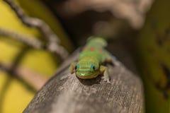 Gecko orange de jour reposant un arbre de noix de coco photos libres de droits