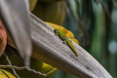 Gecko orange de jour reposant un arbre de noix de coco photo libre de droits