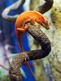 Gecko orange sur le branchement photographie stock