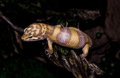 gecko otto Стоковое Фото