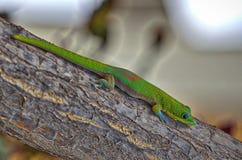 Gecko out on a limb. A beautiful gecko perched on a limb on Maui Stock Image