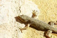 Gecko på den Oman väggen Fotografering för Bildbyråer