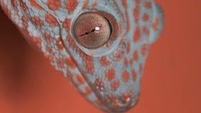 Gecko på den orange väggen arkivfilmer